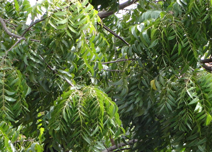 Neem Oil, Neem Tree