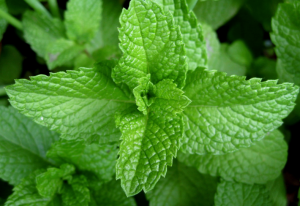 peppermint, peppermint eo, peppermint essential oil
